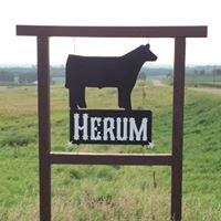 Herum Show Cattle