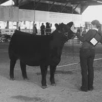 BCII Show Cattle