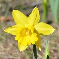 U Pick Daffodils