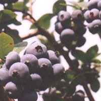 Blueberries at Kilgore Farm