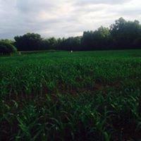 Hayes Corn Maze