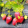 Dail's Strawberries