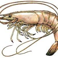Adams Shrimp - Fresh off the boat