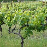 Terra Testa Vines