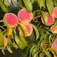 Dowless Peach Orchard
