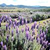Karooba Winery And Lavender Farm.