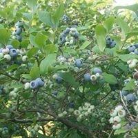Windy Knob Blueberry Farm