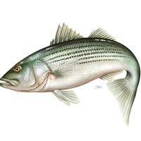 Hudson River Striped Bass