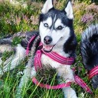 Siberian husky Daisy