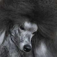 Pinafore Standard Poodles & Alpacas