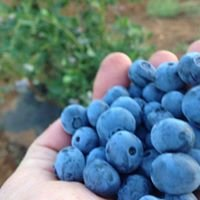 Once in a Blue Moon Berries