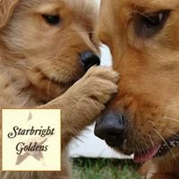 Starbright Goldens