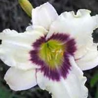 Smith Daylilies