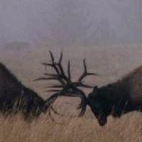 Mountain View Elk