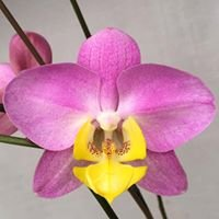 Orchids by Hausermann