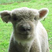 Saint Stephen's Fold - Babydoll Sheep