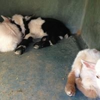 LegenDairy Goats