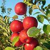 Wagon Wheel Orchard