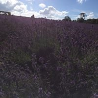 Mayfield Lavender Field