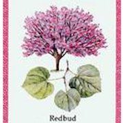 The Redbud Project