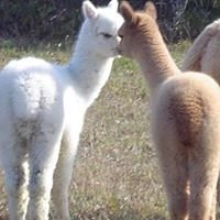 Maine's Bellemont Farm Alpacas