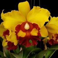 Koné Orchidée