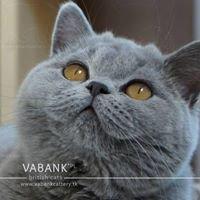 Hodowla Kotów Brytyjskich Vabank*PL | British Cats Cattery Vabank*PL