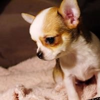Hodowla Esoteros Chihuahuas Kennel
