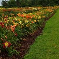 Lasting Dreams Daylilies