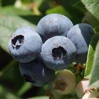 Buninyong Blueberry Farm