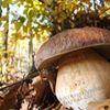 Sagra del Fungo Amiatino