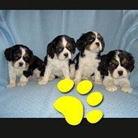 Cuccioli di Cavalier King
