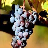 Vinedos Angola Page