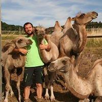 Haßberglamas und Kamele