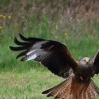 Gigrin Farm (The Red Kite Centre)