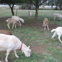 Dunkell Goats