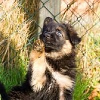 Long-coated German shepherds from Möhnesee puppies