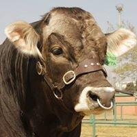 Eduan Braunvieh Cattle