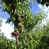 Wisbey's Orchards