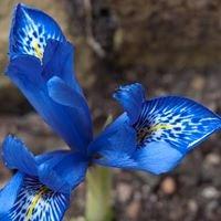 El Vilosell Iris