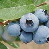 Walker's Blueberries