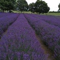 Alphra Lavender