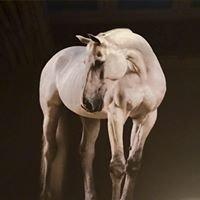STX Sport Horses