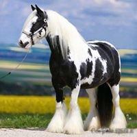 Royal Gypsy Horse