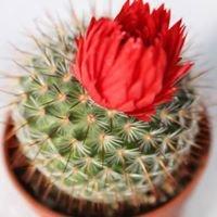 Ziedu salons Kaktuss