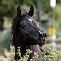 Black Smoke Arabians