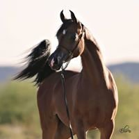 PCF Arabians
