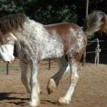 Sonoran Clydesdale Horse Breeding services