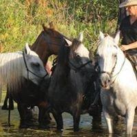 Paso Fino Sport Horse (pasofinosporthorse.com)