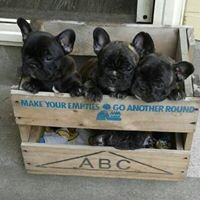 French bulldogs NZ. Best french Kennels